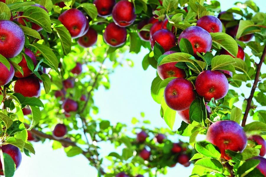 Анализ изученности кроны и насаждений яблони как продукционной фотосинтезирующей системы