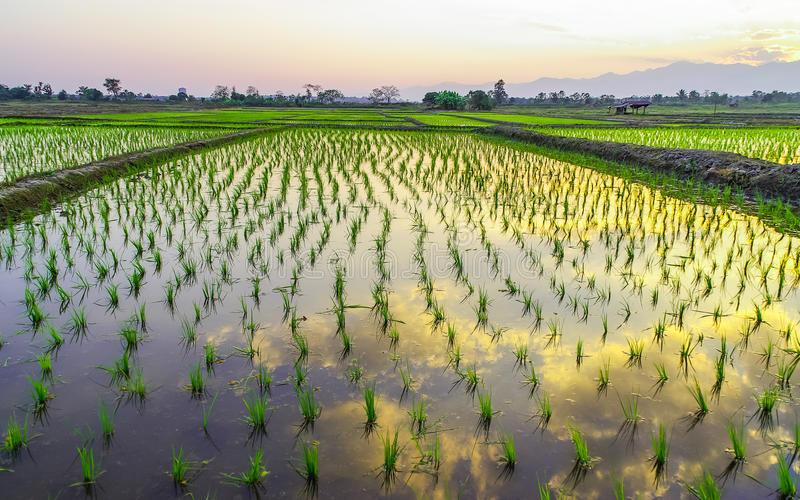 Орошение риса