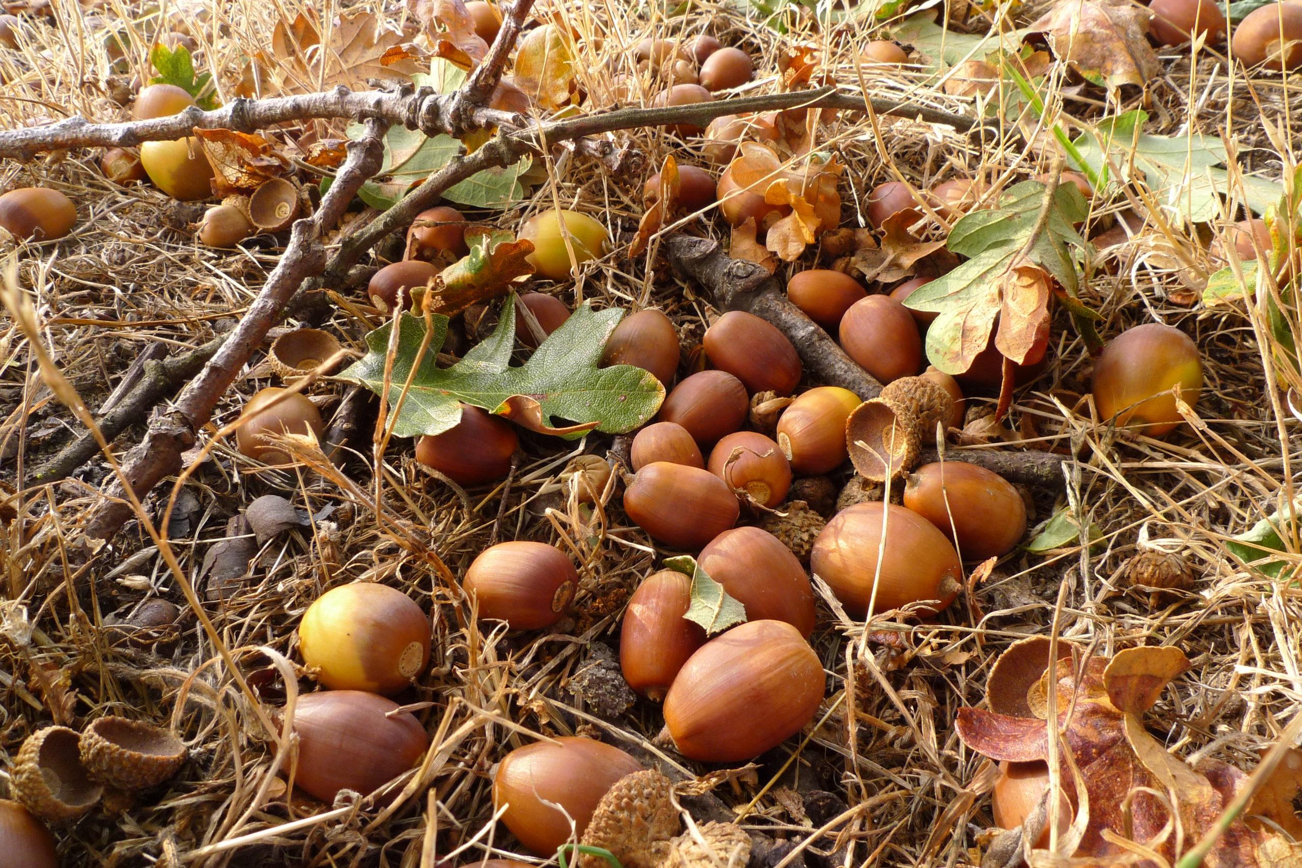 Хранение желудей до весеннего посева
