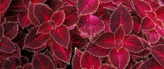 Ахирантес (Асhyranthes L.) фото