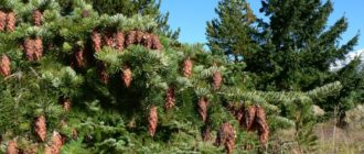 Дугласия (лжетсуга) тиссолистная, пихта дугласова (Pseudotsuga taxifolia Britt., Pseudotsuga Douglassii Carr.) фото