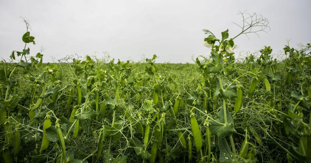 Совершенствование системы севооборотов и структуры посевов в современных условиях