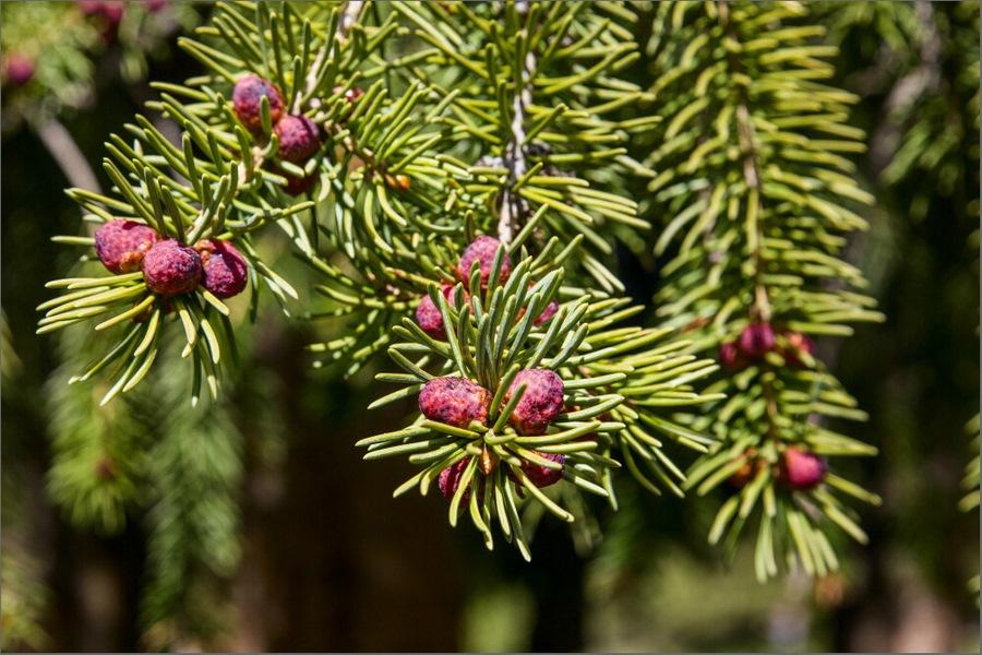Особенности сбора, обработки и хранения шишек, плодов и семян различных видов деревьев и кустарников