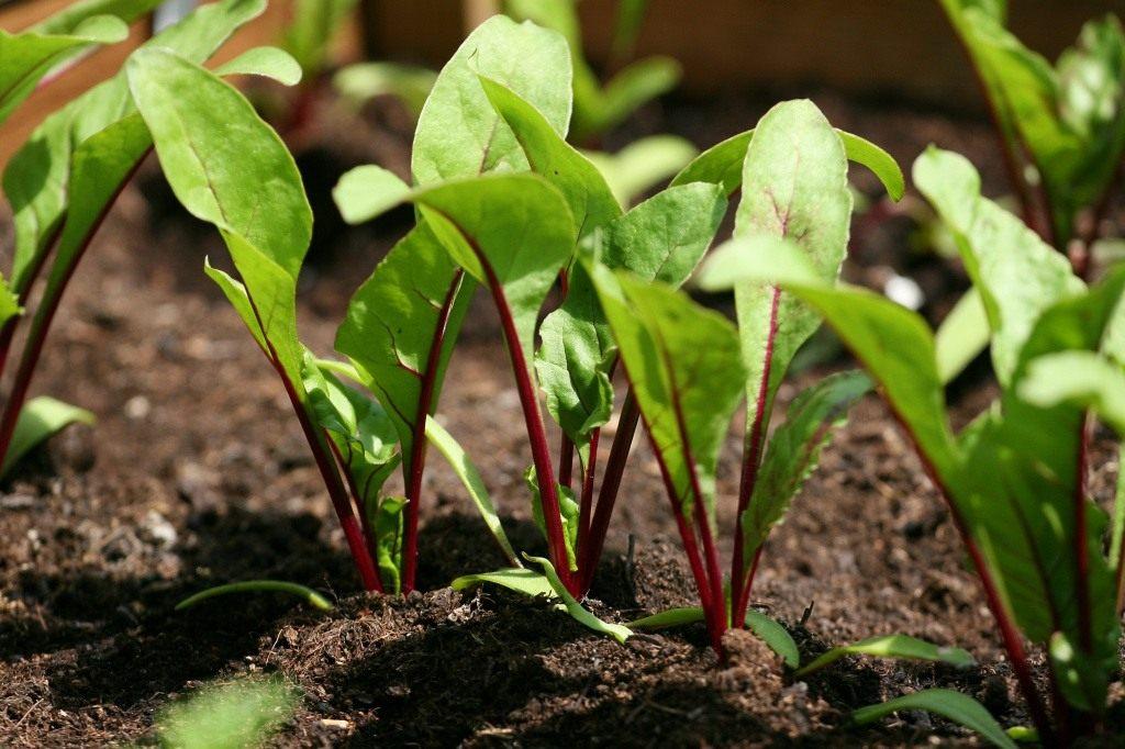 Безвысадочное выращивание семян свеклы