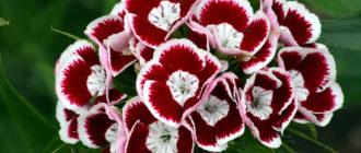 Гвоздика садовая, ремонтантная, голландская, крупноцветковая (Dianthus caryophyllus L. Semperflorens) фото