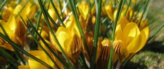 Крокус, шафран (Сrocus L.) фото