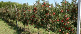 Посаженная яблоня