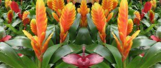 Вриезия (Vriesia) фото