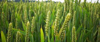 выращивания зерновых колосовых