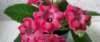 Глоксиния гибридная, синнингия (Sinningia hybrida hort.) фото