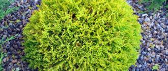 Кустарниковые формы туи западной (Thuja occidentalis L.) фото