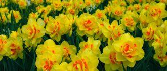 Нарцисс (Narcissus L.) фото
