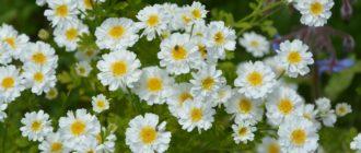 Пиретрум девичий, поповник девичий (Pyrethrum parthenium Smith) фото