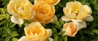 Роза (Rosa L.) фото