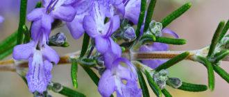 Розмарин обыкновенный (Rosтаrinus officinalis L.) фото