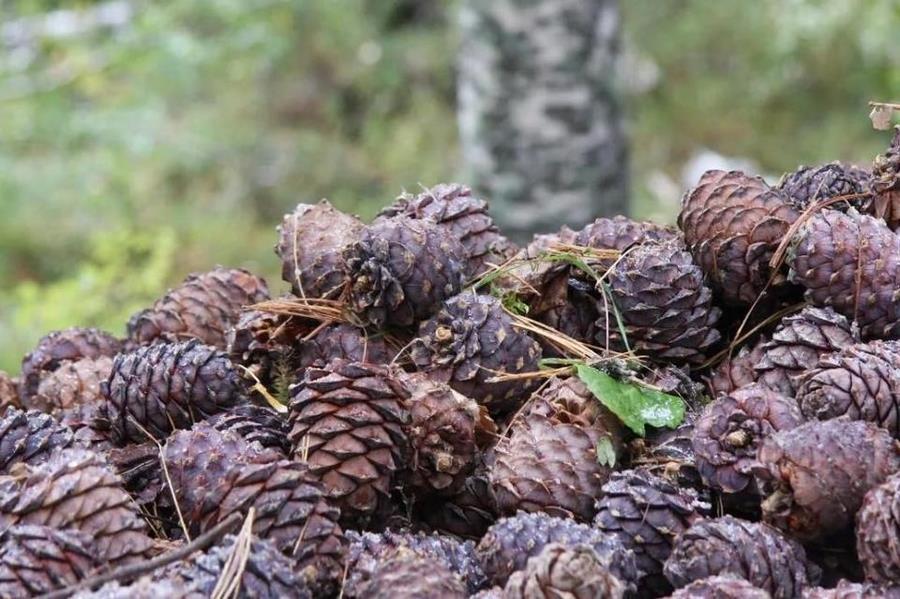 Предварительное обследование лесосеменных объектов перед заготовкой семян