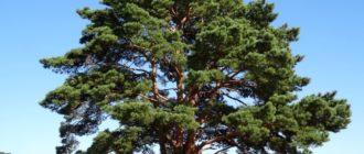 Сосна (Рinus L.) фото