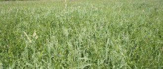 злаковые и бобовые культуры высевание смесью