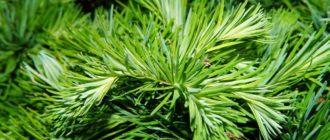 Древесная зелень хвойных