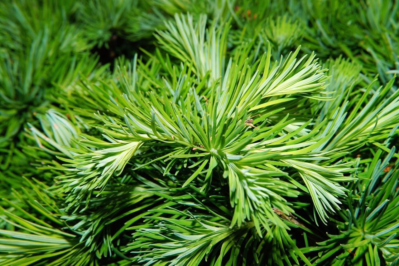 Древесная зелень хвойных пород