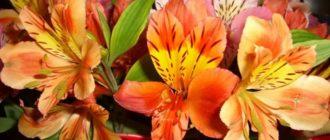 Альстремерия (Alstroemeria L.) фото