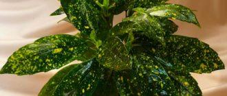 Аукуба, золотое дерево (Аисиbа Thunb.) фото