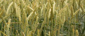 Эозиновый экспресс-метод определения спелости зерна