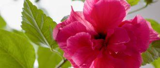 Гибискус (Hibiscus L.) фото