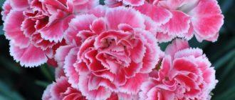 Гвоздика (Dianthus L.) фото