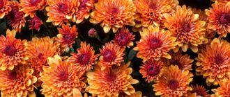 Хризантема (Chrysanthеmum L) фото