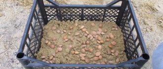 Стратификация семян в ящиках