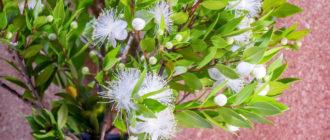 Мирт обыкновенный (Муrtus cottunis L.) фото