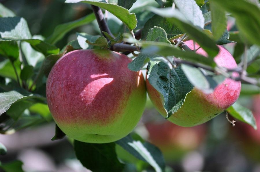 Анализ изученности кроны и насаждений яблони