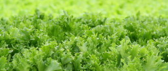 Ранее выращивание салата огородного