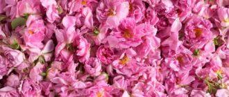 Роза эфиромасленичная