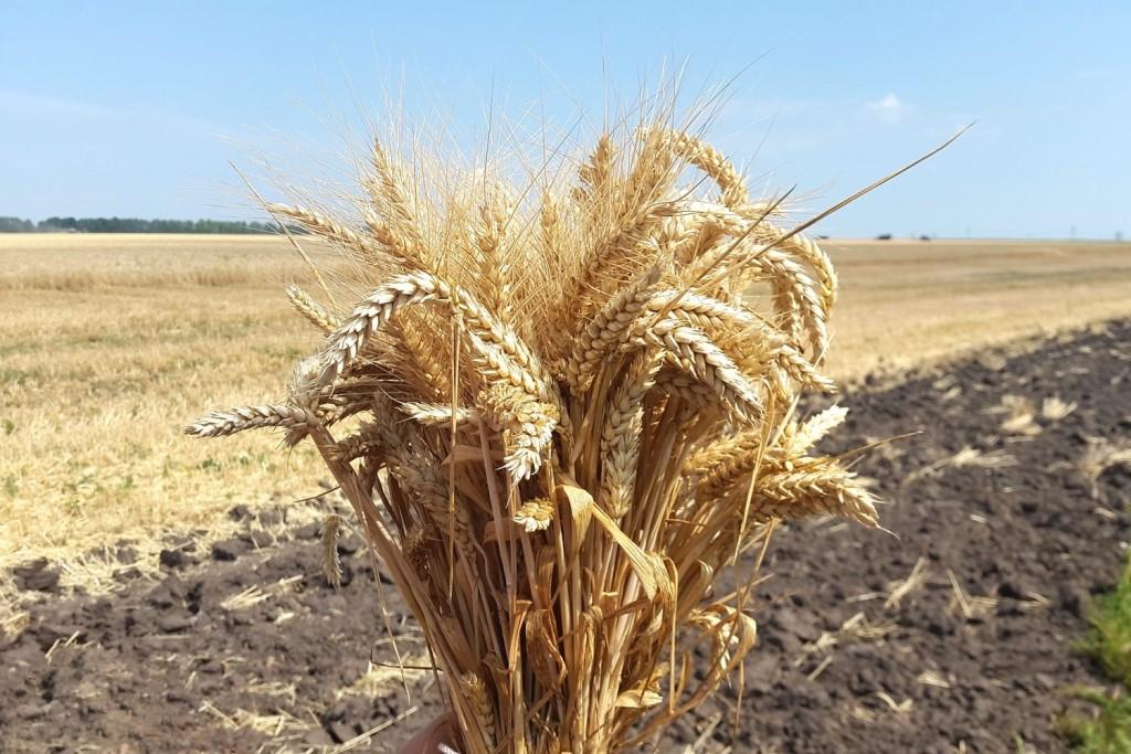 Этапы органогенеза и экологический эффект времени возобновления весенней вегетации озимой пшеницы