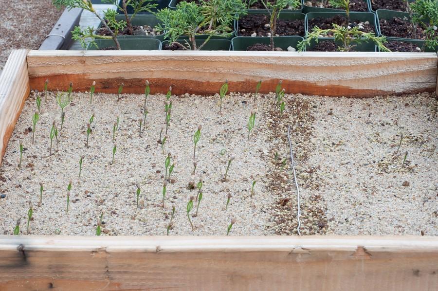 Стратификация семян, сущность процесса стратификации
