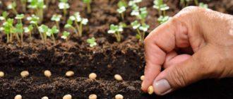Влияние размера семян на качество сеянцев