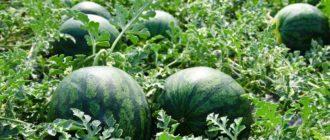 Выращивание Бахчевые культуры (арбуз, дыня, тыква)