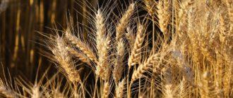 Изучение сортовых признаков зерновых