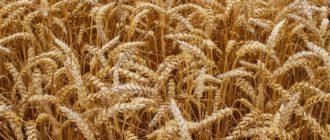 Зерновые культуры мира фото