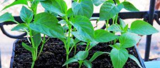 Как вырастить рассаду перца